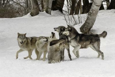 Gray Wolf, Montana