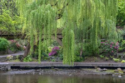 USA, Oregon, Portland, Weeping willow above small creek and blooming azalea.