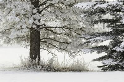 Heavy frost on trees, Kalispell, Montana