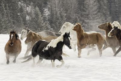 Horse roundup in winter, Kalispell, Montana
