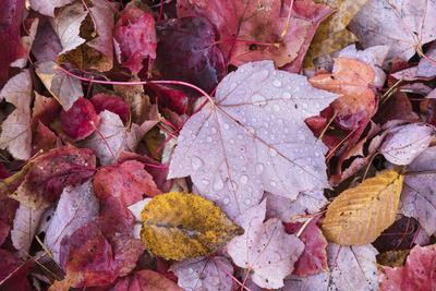 USA, Michigan. Autumn leaves on the forest floor in the Keweenaw Peninsula.