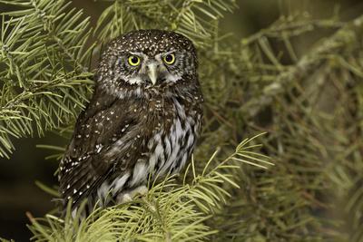 Northern Pygmy Owl, Glaucidium gnoma Montana