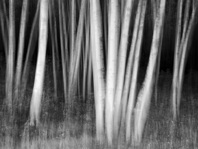 USA, New Hampshire, White Mountains, White birches abstract