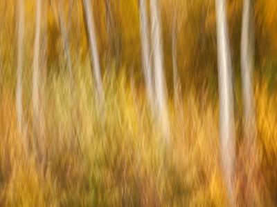 USA, New Hampshire, White Mountains, Abstract of autumn maples and white birch