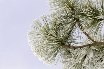 Pine bough with heavy frost crystals, Kalispell, Montana