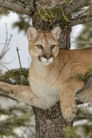 Mountain Lion in tree, Montana. Puma Concolor