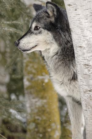 Gray Wolf in winter, Canis lupus, Montana