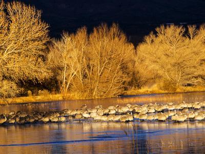 USA, New Mexico, Bosque del Apache, Sandhill cranes at dawn