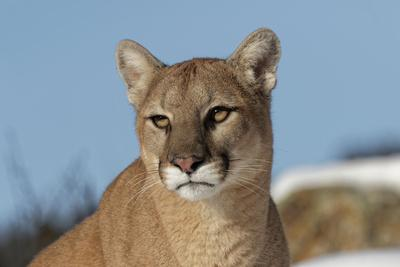 Mountain Lion in snow, Montana. Puma Concolor