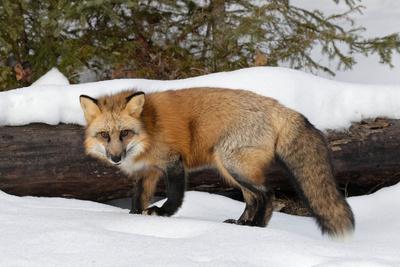 Red Fox in winter, Montana, Vulpes Vulpes