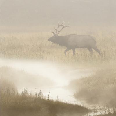 Bull Elk on foggy morning along Madison River, Yellowstone National Park, Montana, Wyoming