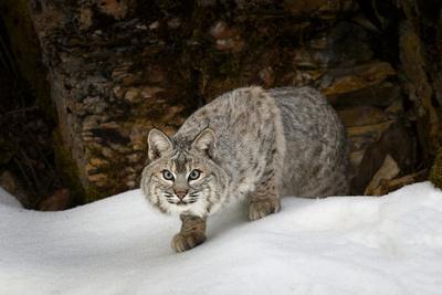 Bobcat in snow, Montana. Lynx Rufus