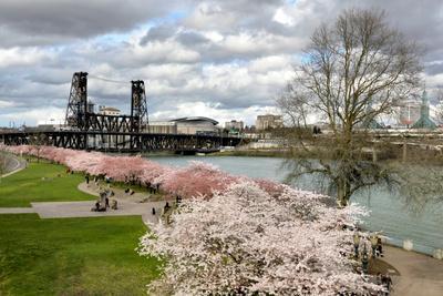 USA, Oregon, Portland. Cherry trees in bloom along Willamette River.
