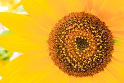 Santa Fe, New Mexico, USA of a yellow sunflower.