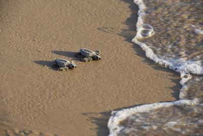 Kemp's riley sea turtle baby turtles walking towards surf, South Padre Island, South Texas, USA