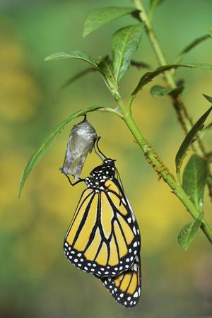 Monarch butterfly emerging from chrysalis on Tropical milkweed, Hill Country, Texas, USA