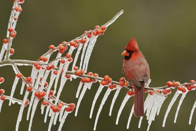 Northern Cardinal male perched on icy Possum Haw Holly, Hill Country, Texas, USA