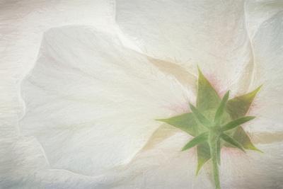 USA, Washington State, Seabeck. Hibiscus blossom close-up.
