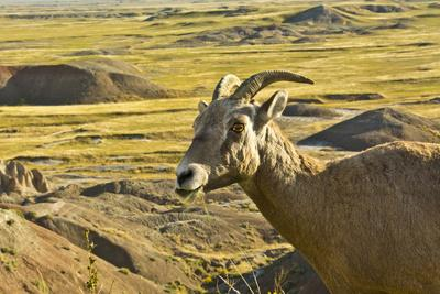 Female Bighorn Sheep, Badlands National Park, South Dakota, Usa