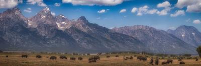 Panorama. Buffalo Herd with Grand Teton Mountains behind. Grand Teton National Park, Wyoming.