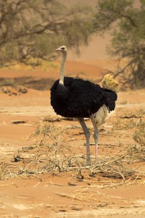 Namibia, Namib-Naukluft National Park, Sossusvlei. Male ostrich walking in the desert scrub.