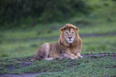 Africa. Tanzania. Male African Lion at Ndutu, Serengeti National Park.