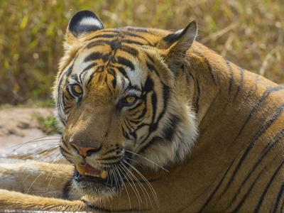 India. Male Bengal tiger enjoys the cool of a water hole at Bandhavgarh Tiger Reserve.