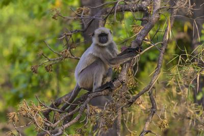 India. Grey langur, Hanuman langur at Bandhavgarh Tiger Reserve