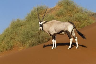 Namibia, Namib-Naukluft National Park, Sossusvlei. An Oryx standing on red sand.