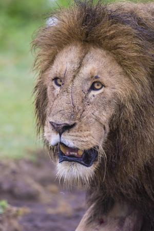 Africa. Tanzania. African Lion at Ngorongoro crater in the Ngorongoro Conservation Area.