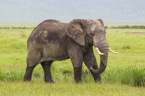 africa tanzania african elephant at the crater in the ngorongoroafrica tanzania african elephant at the crater in the ngorongoro conservation area premium photographic print by ralph h bendjebar at allposters com