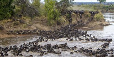 Africa. Tanzania. Wildebeest herd crossing the Mara River, Serengeti National Park.