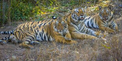 Bengal tigers, Bandhavgarh National Park, India