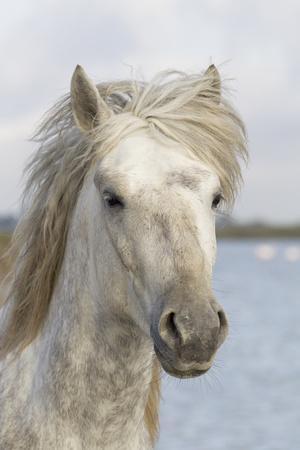 France, The Camargue, Saintes-Maries-de-la-Mer, Portrait of a Camargue horse.