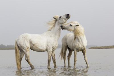 France, The Camargue, Saintes-Maries-de-la-Mer, Two Camargue stallions interacting.