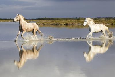 France, The Camargue, Saintes-Maries-de-la-Mer. Camargue horses running through water.