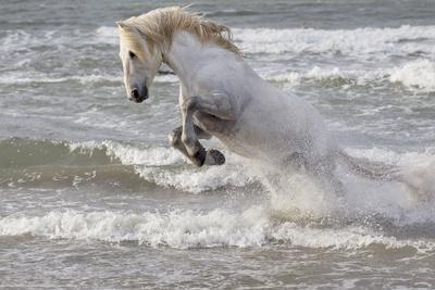 France, The Camargue, Saintes-Maries-de-la-Mer. Camargue horse in the Mediterranean Sea.