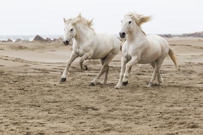France, The Camargue, Saintes-Maries-de-la-Mer. Camargue horses running along the beach.