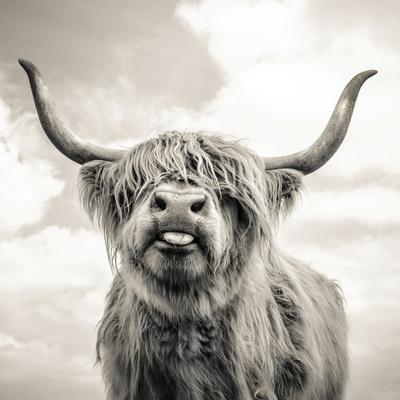 Close up portrait of Scottish Highland cattle on a farm
