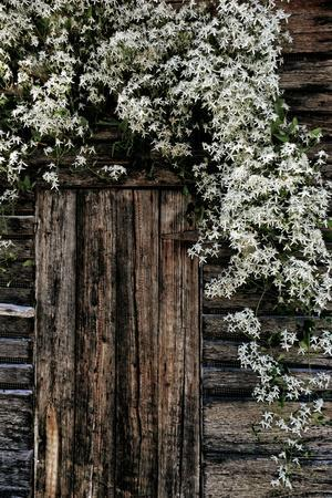 White autumn clematis blossoms tumble down around the door of an old wooden shed.