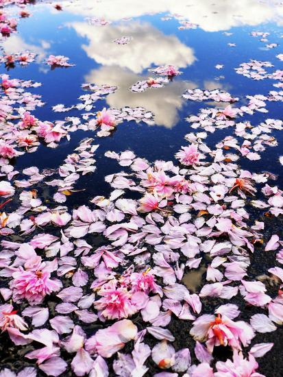 Pink cherry blossom petals lie in a water puddle that reflects white clouds  in a blue sky.' Photographic Print - Amy White