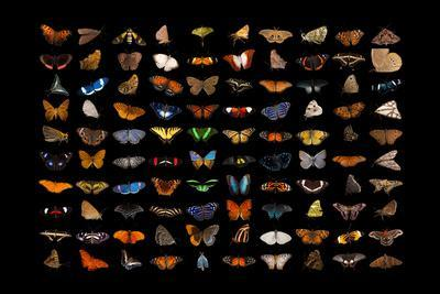 Composite of one hundred different species of butterflies and moths.