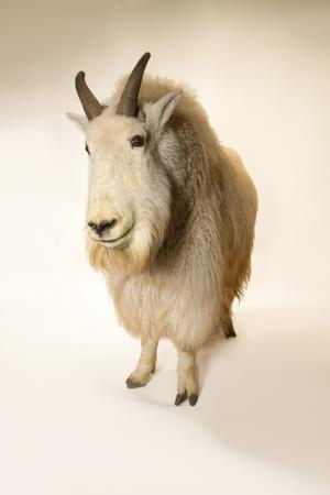 A male Mountain goat, Oreamnos americanus, at the Cheyenne Mountain Zoo.