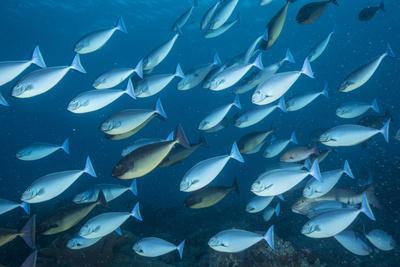A school of surgeon fish swim in Tubbataha Reefs Natural Park.