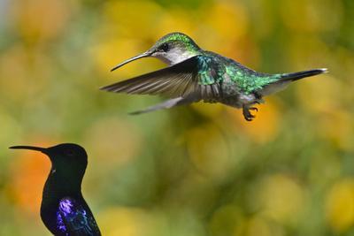 Female crowned woodnymph hummingbird, Thalurania columbica.