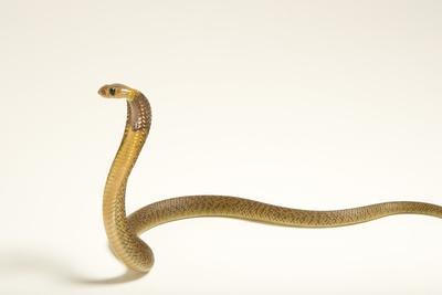 A Cape cobra, Naja nivea, at the LA Zoo.