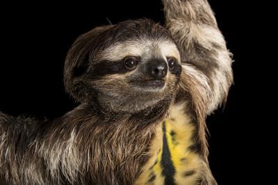 A brown throated sloth, Bradypus variegatus, at the Dallas World Aquarium.