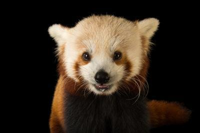 A red panda, Ailurus fulgens fulgens, at the Lincoln Children's Zoo.
