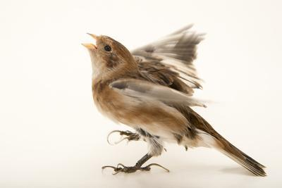 Snow bunting, Plectrophenax nivalis, from a private collection