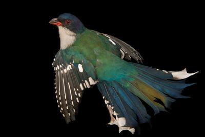A Cuban trogon, Priotelus temnurus, from a private collection.